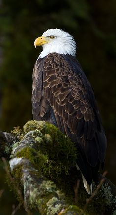 The Bald Eagle…