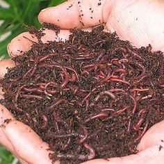 Earthworms (Red Wrigglers – Eisenia fetida) help keep the soil loose – they're Mother Nature's very own spade!