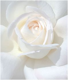 White Roses: White is the color of purity, chastity and innocence. White flowers are generally associated with new beginnings. White flowers can be used to convey sympathy or humility. My Flower, Pretty Flowers, White Flowers, White Peonies, Rosa Rose, Colorful Roses, Shades Of White, Pure White, White White