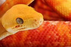 Esta serpente (Boa constrictor amarali) pode chegar a um tamanho adulto de 2 mts. Animal muito dócil para os humanos, apesar de ter fama de animal perigoso. É muito perseguida por caçadores e traficantes de animais, pois tem um valor comercial elevado, como animal de estimação.
