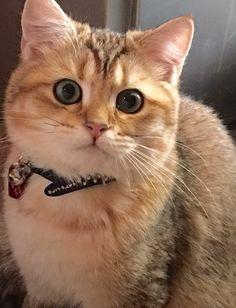 The Funniest Cat Moment - Dari-katjie British Dari-katjie British Shorthair (black golden tabby shaded) Puppies And Kitties, Cats And Kittens, Pretty Cats, Beautiful Cats, Chesire Cat, Fancy Cats, Unique Cats, British Shorthair, Funny Cat Pictures