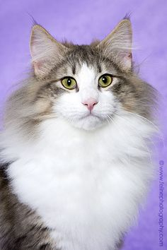 Norwegian Forest Cat, We had one of these cats when I was growing up, such a cool cat she was :)