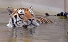Louisiana State University's live tiger mascot, Mike VI, soaks himself in his pool at the school in Baton Rouge, La., Monday, May 23, 2016. Mike, the sixth live tiger to serve as the school's mascot, has been diagnosed with a rare and inoperable form of cancer. (Bill Feig/The Advocate via AP) MANDATORY CREDIT Photo: Bill Feig, Associated Press / The Advocate