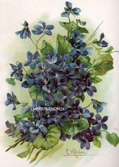 vintage flower print - PURPLE VIOLETS - Victorian botanical artwork from the… Catherine Klein, Art Floral, Floral Prints, Images Vintage, Art Vintage, Vintage Postcards, Vintage Flower Prints, Vintage Flowers, Vintage Floral