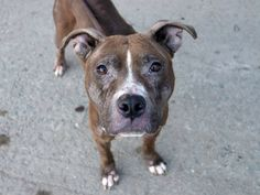 TO BE DESTROYED FRI 09/26/14- Brooklyn Center  SIMBA - A1014571  FEMALE, GRAY / WHITE, PIT BULL MIX, 1 yr STRAY - STRAY WAIT, NO HOLD Reason STRAY  Intake condition EXAM REQ Intake Date 09/19/2014, From NY 11232, DueOut Date 09/22/2014,