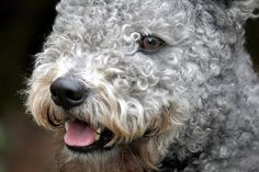 Westminster dog show Say hello to the pumi from N. Dog Lover Gifts, Dog Lovers, Pumi Dog, Westminster Dog Show, Livestock, Say Hello, Best Dogs, Dog Breeds, Cute Dogs