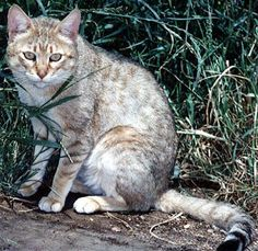 ARABIAN WILDCAT  [Felis silvestris gordoni] This subspecies of wildcat is also known as Gordon's Cat.  The genetically pure Arabian wildcat now occurs only in the United Arab Emirates and northern Oman, in the eastern Arabian Peninsula.