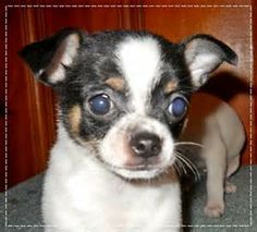Average Chihuahua Size - Bing Images