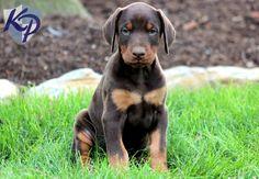 Tessa – Doberman Pinscher Puppy