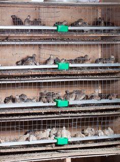 The 5 Best Quail Cages That Make Raising Quail Easy Quail Pen, Quail Coop, Quail Eggs, Tilapia Fish Farming, Quail House, Raising Quail, Tree House Plans, Rabbit Cages, Sustainable Farming
