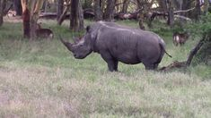 """Wildlife Rhino - Black and White African Rhino at Kenya! Black rhinos have a pointed lip which they use to pick fruit from branches and select leaves from twigs! White rhinos have a flat, wide lip to graze on grasses! White or """"Wide"""" refers to the width of the Rhino's mouth. Native misinterpreted the """"wide"""" for """"white"""". So named as the white rhino! African Rhino, Rhinos, Grasses, Kenya, Branches, Meditation, Wildlife, Leaves, Flat"""
