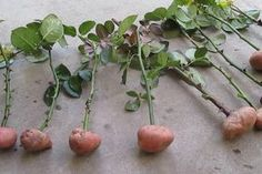 Cuttings of roses in potatoes. part Rose Cuttings in potatoes. Part 1 Cuttings of rose Growing Roses, Natural Farming, Planting Roses, Plants, Edible Flowers, Tomato Seedlings, Roses In Potatoes, Gardening Blog, Growing Vegetables