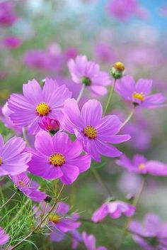 """I think it pisses God off when you walk by the color purple in a field and don't notice it!"" /COSMOS one of my favorite flowers."