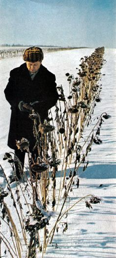 National Geographic visits USSR | Hedge of sunflowers helps to retain snow in Barnaul.