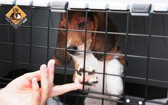 Expérimentation animale - 2500 beagles libérés en Italie  Une victoire pour les militants de la cause animale !