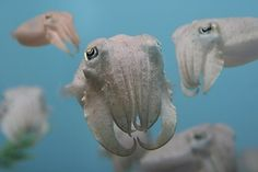 juvenile cuttlefish.