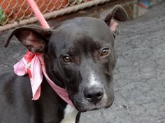 """Manhattan Center  PERCY - A0965142 *** RETURNED ON 6/30/13 ***  NEUTERED MALE, BLACK / WHITE, AM PIT BULL TER MIX, 9 mos Who adopts a puppy and then returns them b/c they have 'NO TIME""""   The person who brought Percy home.Percy like any youngsters is a little naive. Percy is a really good looking little boy who needs a home to call his own and a master to love. He is at the Manhattan Care Center, ready for you.  Please help get this puppy out of ACC before its too late."""