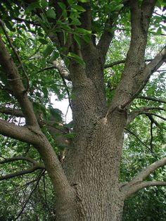 ash tree trunk