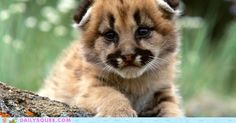 Cougar Cub... When you grow up you're going to kill my family? Awww, it's okay, I'll get a new one! ^_^
