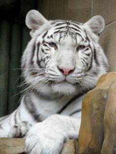 White tiger by ~Mikushka on deviantART