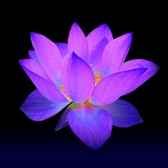 Evening Purple Lotus Painting by David Dehner