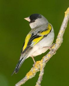 Lawrence's Goldfinch - Whatbird.com