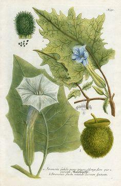 Stramonia faetida pomo spinoso oblongo flore purpurante (1075×1650)