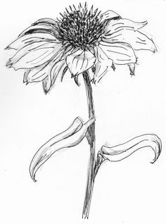 aster flower drawing - Cerca con Google