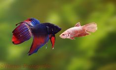Betta Fish mating is not an easy process it takes lot of precautions than just running for it. It requires an aquarium, betta fishes and lots of precautions. Pretty Fish, Beautiful Fish, Fishing 101, Fishing Gifts, Fish Breeding, Different Fish, Fish Wallpaper, Fish Drawings, Siamese Fighting Fish
