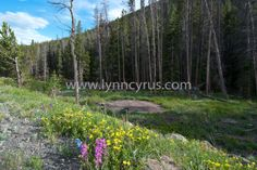 Forest photography - pine and aspen trees in early summer in the evening at Rocky Mountain National Park, Colorado. Colorful wildflowers in bloom in the foreground, with a blue sky.    Nature.