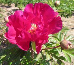 Peony Scarlet Heaven, an Intersectional (Itoh) peony. Wonderful garden peony plants