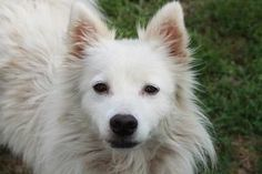 Bailey is an adoptable American Eskimo Dog Dog in Methuen, MA. Six year old beauty Bailey is at the shelter when her previous owner could no longer care for her.� A marvelous grooming establishment ha...