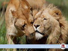 #FOURPAWS #wallpaper #lions #freedownload