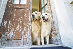peeking goldens