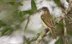 Yellow-olive Flycatcher (Tolmomyias sulphurescens) South America