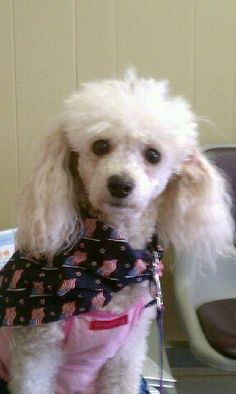 Lilly from Lost Angeles at Tampa Veterinary Hospital in Tampa Florida, celebrating July 4th