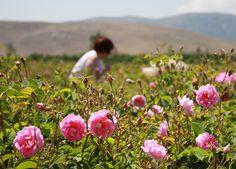 Harvesting roses, Isparta, Turkey.