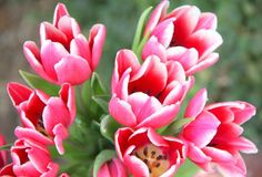 #pink tulips