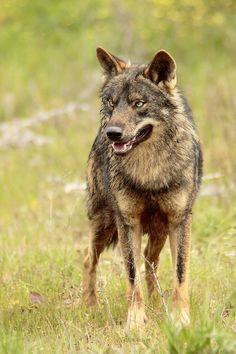 lobo iberico - Buscar con Google