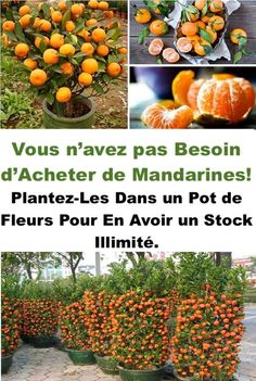 Stop Buying Tangerines. Plant Them In A Flowerpot And You Will Always Have Hundreds Of Organic Tangerines! – Positive Thinking & Self Help Community
