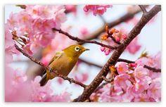 Yellow Bird on a Cherry Blossom Tree Branch HD desktop wallpaper : Widescreen : High Definition : Fullscreen : Mobile