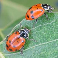 order ladybugs online - Google Search