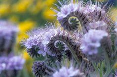 Tansy purple fiddleneck flowers Unusual Flowers, Purple Flowers, White Flowers, Beautiful Flowers, Unusual Plants, Desert Flowers, Purple Lace, Outdoor Flowers, Outdoor Plants