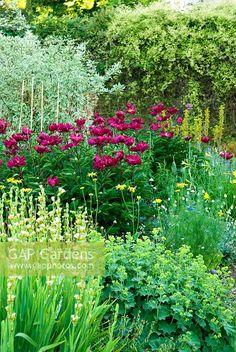 Red peony, alchemilla, sisyrichium striatum, asphodeline lutea, hemerocallis, a grey willow in back and a scattering of yellow daisies