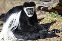 """Kacee- Photo by Steve Jones Did you Know? African legend calls the colobus monkey """"the messenger of the gods"""" because at sunrise it sits silently as if in prayer."""