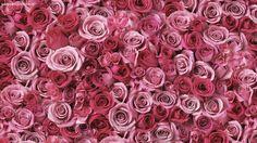 pink roses free