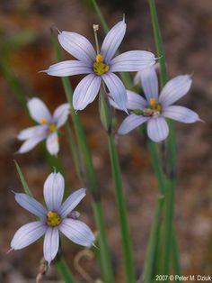 Photos and information about minnesota flora wood anemone 1 inch sisyrinchium campestre prairie blue eyed grass pale blue to white star mightylinksfo
