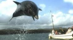 Maybe we will see #Fungithedolphin when we are in #Dinglebay.  #Ireland2013.