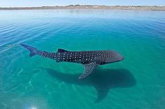 WEBSTA @discoverocean Whale shark in crystal clear water The whale shark is a filter feeder – one of only three known filter-feeding shark species (along with the basking shark and the megamouth shark). It feeds on plankton including copepods, krill, fish eggs, and small nektonic life, such as small squid or fish. Photo: @thomaspeschak Via @fathomlesslife