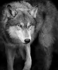 Le Loup,Un Animal fascinant ღღღ Wolf Photos, Wolf Pictures, Wolf Spirit, Spirit Animal, Beautiful Creatures, Animals Beautiful, Mononoke Anime, Tier Wolf, Wolf Hybrid
